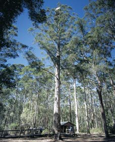 Diamond Tree Lookout Manjimup - Australia Accommodation
