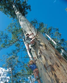 Dave Evans Bicentennial Tree - Australia Accommodation