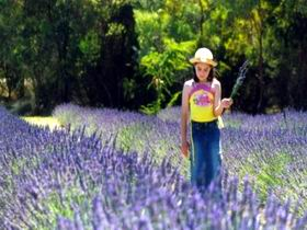 Brayfield Park Lavender Farm - Australia Accommodation