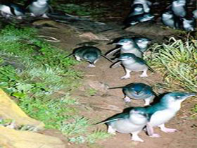 Penneshaw Penguin Centre - Australia Accommodation