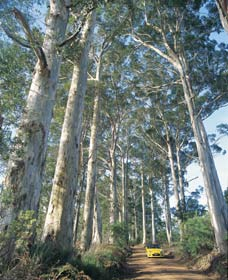 The Great Forest Trees Drive - Australia Accommodation